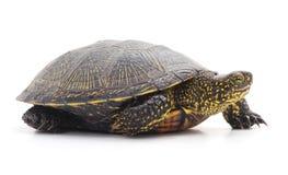 черепаха одичалая Стоковые Изображения