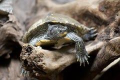 черепаха одичалая стоковые изображения rf