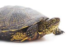 черепаха одичалая Стоковые Фотографии RF