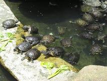 Черепаха около пруда стоковая фотография rf