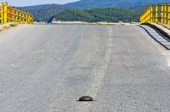Черепаха опасно пересекая дорогу перед малым желтым мостом Стоковые Изображения