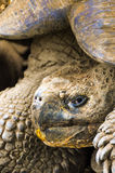 черепаха островов эквадора galapagos гигантская Стоковое фото RF