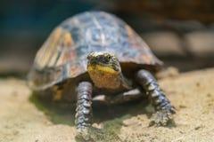 черепаха Очень мягкий фокус Черепаха на песочной земле Стоковая Фотография