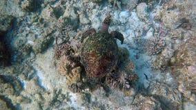 Черепаха плавает через коралловый риф сток-видео
