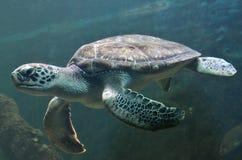 Черепаха плавая тихо в общественном аквариуме Стоковое фото RF
