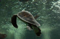 Черепаха плавая тихо в общественном аквариуме Стоковое Изображение