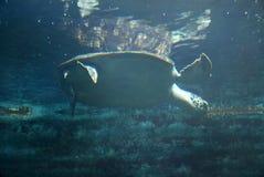 Черепаха плавая тихо в общественном аквариуме Стоковые Фото