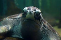 Черепаха плавая тихо в общественном аквариуме Стоковые Фотографии RF