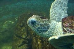Черепаха плавая тихо в общественном аквариуме Стоковые Изображения