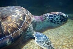 Черепаха плавая тихо в общественном аквариуме Стоковая Фотография