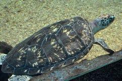 Черепаха плавая тихо в общественном аквариуме Стоковые Изображения RF