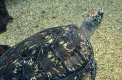 Черепаха плавая тихо в общественном аквариуме Стоковая Фотография RF