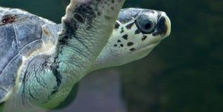 Черепаха плавая тихо в общественном аквариуме Стоковое Фото