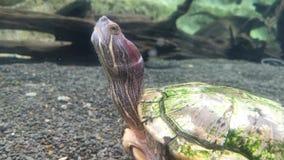 Черепаха пока смотрящ вверх под водой Крупный план снял черепахи под водой сток-видео