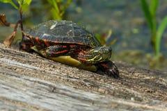 Черепаха покрашенная Midland стоковая фотография rf