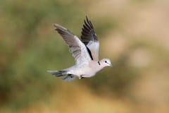 черепаха полета dove плащи-накидк стоковая фотография rf