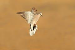 черепаха полета dove плащи-накидк стоковое изображение rf