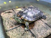 Черепаха, пресноводная черепаха, красивая черепаха Стоковые Изображения RF