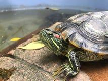 Черепаха, пресноводная черепаха, красивая черепаха Стоковые Изображения