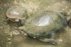 Черепаха/пресноводная черепаха Стоковое фото RF