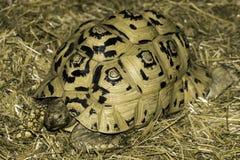 Черепаха при желтая и черная раковина лежа на кровати соломы Стоковая Фотография