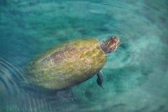 Черепаха пруда погоста Стоковые Изображения RF