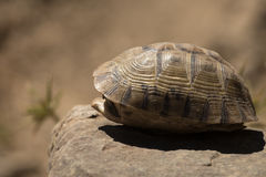 Черепаха пряча в раковине Стоковое Фото