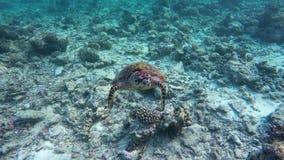 Черепаха плавает в коралловом рифе видеоматериал