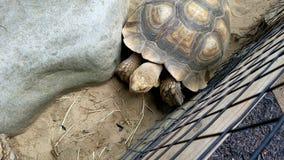 Черепаха сжимая между утесами Стоковые Изображения