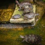 Черепаха сидит на камне Стоковое Фото
