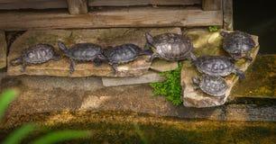 Черепаха сидит на камне Стоковые Изображения