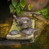 Черепаха сидит на камне Стоковые Фотографии RF
