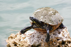 черепаха слайдера пруда Стоковое Фото