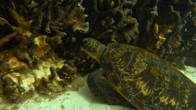 Черепаха смотря на риф сток-видео