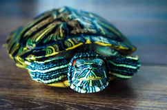Черепаха слайдера пруда красная ушастая Стоковое Фото