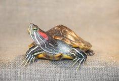 Черепаха слайдера пруда красно-ушастая Стоковые Фото