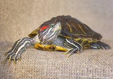 Черепаха слайдера пруда красно-ушастая Стоковая Фотография RF
