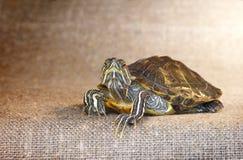Черепаха слайдера пруда красно-ушастая Стоковая Фотография