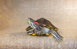 Черепаха слайдера пруда красно-ушастая Стоковые Изображения