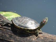 Черепаха Техаса Стоковая Фотография
