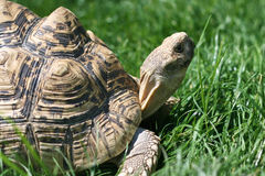 черепаха травы Стоковое фото RF
