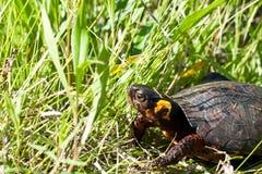 Черепаха трясины стоковая фотография