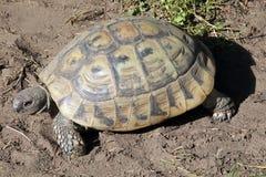 Черепаха Хермана Стоковое фото RF