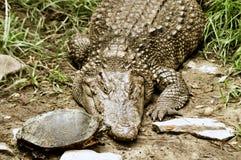 Черепаха целует крокодила Стоковая Фотография