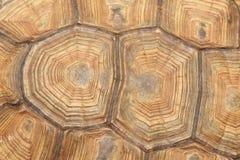 Черепаха, черепаха, черепаха Мягк-раковины Стоковое Фото