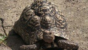 Черепаха черепахи леопарда большая и привлекательно маркированная видеоматериал