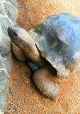 Черепаха, черепахи Стоковые Фото