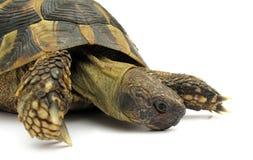 черепаха черепахи testudo hermanni Стоковые Фотографии RF