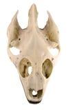 черепаха черепа путя клиппирования Стоковое Изображение RF