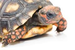 черепаха Стоковые Изображения RF